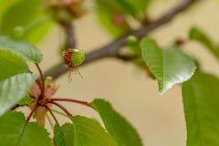 La cereza verde dulce madura en un ?rbol verde en verano Fruta en una rama de la cereza dulce en un jard?n Profundidad del campo  imagen de archivo