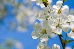 La cerise de floraison Images libres de droits