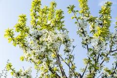 La cerise de floraison de ressort fleurit la branche Photo libre de droits