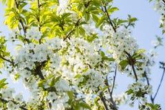La cerise de floraison de ressort fleurit la branche Images stock