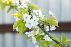 La cerise de floraison de sakura de source fleurit le branchement Images stock