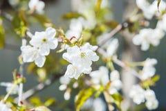 La cerise de floraison de sakura de source fleurit le branchement Photographie stock libre de droits