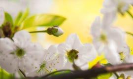 La cerise de ressort fleurissant, les fleurs blanches se ferment, Sakura, belle journée de printemps Image stock