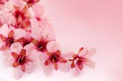 La cerise de source fleurit le fond Photos stock