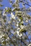 La cerise fleurit la branche image libre de droits