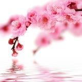 la cerise fleurit la source images libres de droits