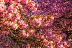 La cerise fleurit le champ d'arbre, humeur de ressort Photos libres de droits