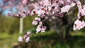 La cerise rose fleurit la floraison dans le printemps swining dans le vent clips vidéos