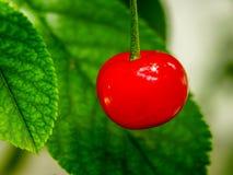 La cerise rouge Photos libres de droits