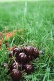 La cerise sur l'herbe Photos libres de droits