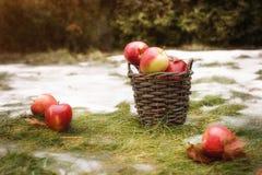 La cesta con las manzanas rojas y amarillas está en la hierba con nieve Algunas manzanas están detrás de la cesta Foto de archivo