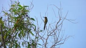La châtaigne a dirigé le leschenaulti de Merops d'oiseau de mangeur d'abeille se reposant sur la branche d'arbre banque de vidéos