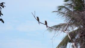 La châtaigne a dirigé le leschenaulti de Merops d'oiseau de mangeur d'abeille se reposant sur la branche d'arbre clips vidéos