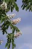 La châtaigne fleurit la cascade Photos libres de droits