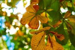 La châtaigne jaune et verte laisse l'élevage sur l'arbre Images stock