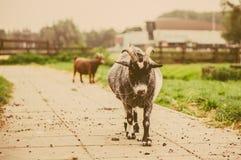 La chèvre à la ferme dans le vintage modifie la tonalité la photo Image libre de droits