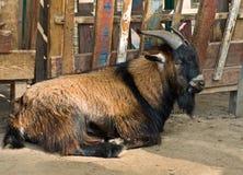 La chèvre Photos libres de droits