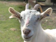 La chèvre photo stock