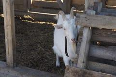 La chèvre Image libre de droits