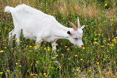 La chèvre blanche Image stock