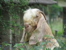 La chèvre blanche avec des klaxons photo libre de droits