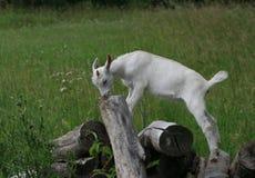 la chèvre blanche d'enfant ouvre une session dessus un pré photo libre de droits