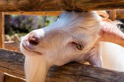La chèvre a collé sa tête par le pré en bois de barrière de rondins image stock