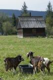 La chèvre de l'alpiniste traditionnel Photographie stock libre de droits