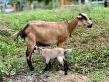 La chèvre de mère prend bien soin de l'enfant photo stock
