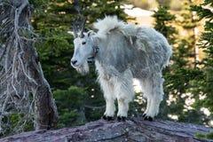 La chèvre de montagne adulte se tient sur la roche Photos libres de droits