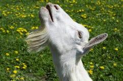 La chèvre demande la nourriture images stock