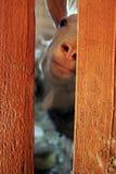 La chèvre domestique blanche étrange curieuse a collé son visage et nez rose Image stock
