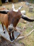 La chèvre indique Huh ? Photographie stock