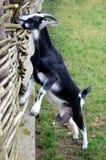 La chèvre mange Photo libre de droits