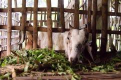 La chèvre mangent l'herbe à l'intérieur de la cage image libre de droits