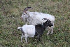 La chèvre marche pâturage un jour d'automne par temps pluvieux nuageux Photo stock