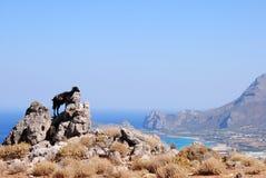 La chèvre noire en Crète Images stock