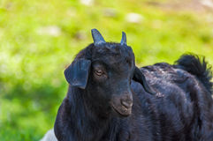 La chèvre noire a frôlé des montagnes Image libre de droits