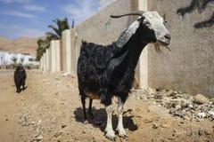 La chèvre nubian Image libre de droits