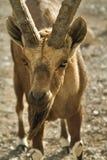 la chèvre obtenue a affamé Image libre de droits