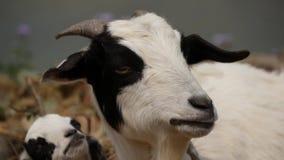 La chèvre regarde l'appareil-photo et mâche l'herbe banque de vidéos