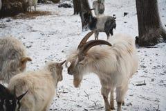 la chèvre renifle le plan rapproché de moutons Images libres de droits