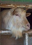 La chèvre sans cornes barbue blanche regarde la fenêtre photos libres de droits