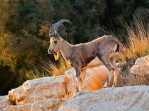 La chèvre sauvage (aegagrus de Carpa) Photographie stock libre de droits