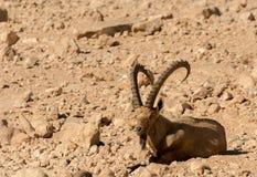 La chèvre sauvage (aegagrus de Carpa) Photos libres de droits