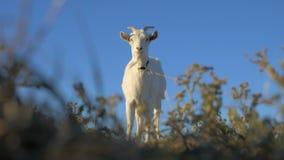 La chèvre se tient sur le fond de l'herbe et du ciel bleu banque de vidéos