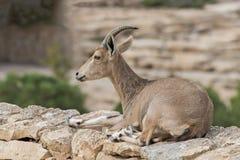 La chèvre semi domestiquée Photo libre de droits
