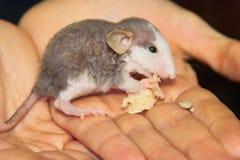 La chéri perdue de rat mange sur des mains. Images stock