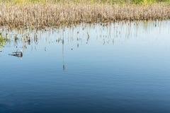 La charca azul y la caña seca del ` s del año pasado, hierba seca en el agua, fondo abstracto de la naturaleza Imagen de archivo libre de regalías
