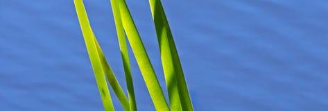 La charca recubre con caña el agua azulverde Imagenes de archivo